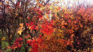 Herbstlaub in unserem Garten am 24. November 2019