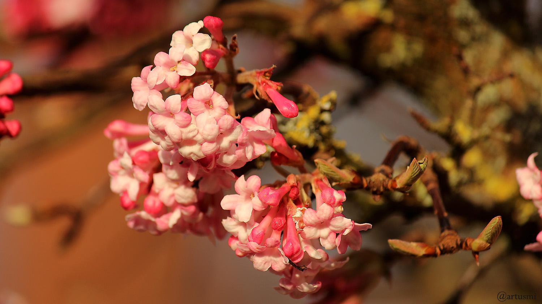 Blüten unseres Winterschneeballs (Viburnum bodnantense) am 16. Februar 2020