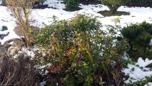 Blühende Mahonien am 29. Februar 2020 um 08:36 Uhr