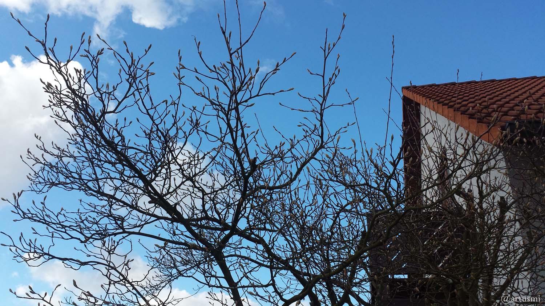Kupferfelsenbirne (Amelanchier lamarckii) am 3. März 2020 um 15:24 Uhr