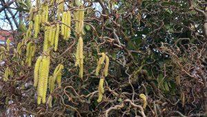 Blüten der Korkenzieherhasel (Corylus avellana) am 3. März 2020 um 15:25 Uhr