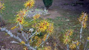 Blüten der chinesischen Zaubernuss (Hamamelis mollis) am 3. März 2020 um 15:25 Uhr