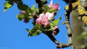 Geschlossene Apfelblüten am 11. April 2020
