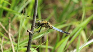 Der Plattbauch (Libellula depressa) am 22. Juni 2020 - eine Libellenart aus der Familie der Segellibellen (Libellulidae)