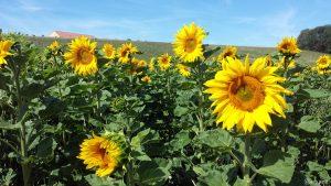 Sonnenblumenfeld bei Eisingen am 13. Juli 2020