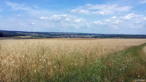 Blick über Getreidefeld auf Veitshöchheim