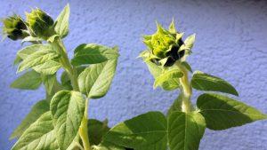 Heliotropismus am Beispiel der Knospen von Sonnenblumen am 13. September 2020