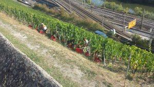 Saisonarbeiter während der Weinlese am 21. September 2020 unterhalb des Unteren Steinbergwegs in Würzburg