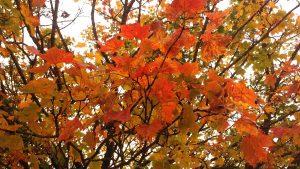 Herbstlaub des Ahorns am 19. Oktober 2020 am Radweg bei Uettingen