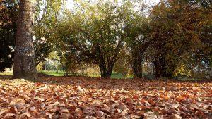 Herbstlaub am 9. November 2020 unter unserem Kirschbaum