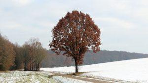 Eiche am Hirtenholzgraben in Eisingen am 3. Dezember 2020