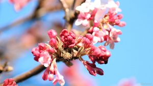 Blüten des Winterschneeballs (Viburnum bodnantense) am 4. Februar 2021