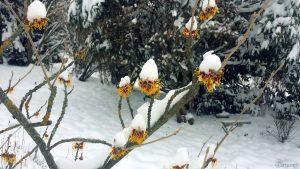 Blüten der Chinesischen Zaubernuss (Hamamelis mollis) am 10. Februar 2021