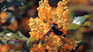 Blaue Holzbiene (Xylocopa violacea) am 11. April 2021 auf den Blüten der Gewöhnlichen Mahonie bzw. Stechdornblättrigen Mahonie (Mahonia aquifolium)