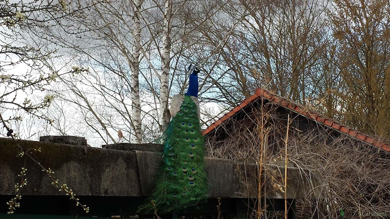 Blauer Pfau (Pavo cristatus) bei Uettingen im Landkreis Würzburg