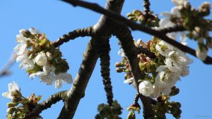 Blüten der Schwarzen Knorpelkirsche am 20. April 2021
