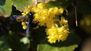 Blaue Holzbiene (Xylocopa violacea) am 20. April 2021 auf den Blüten der Gewöhnlichen Mahonie bzw. Stechdornblättrigen Mahonie (Mahonia aquifolium)