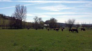 Viehweide bei Greußenheim im Landkreis Würzburg