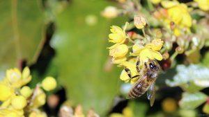 Westliche Honigbiene (Apis mellifera) am 24. April 2021 auf den Blüten der Gewöhnlichen Mahonie bzw. Stechdornblättrigen Mahonie (Mahonia aquifolium)