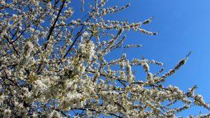 Kirschblüte am 27. April 2021