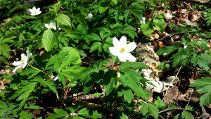 Das Große Windröschen (Anemone sylvestris) wird wegen seines Vorkommens auch Hain-Anemone, Wald-Windröschen oder Waldsteppen-Windröschen genannt.