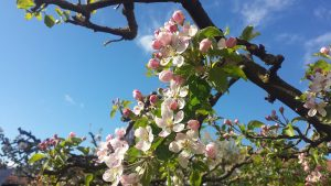 Apfelblüten in unserem Garten am 5. Mai 2021