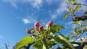 Geschlossene Apfelblüten in unserem Garten am 5. Mai 2021