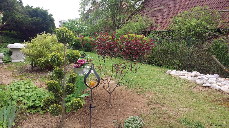 Am 11. Mai 2021 gepflanzt - Zwerg-Blutpflaume (Prunus cistena)