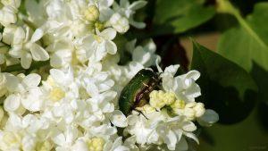 Gemeiner Rosenkäfer (Cetonia aurata) auf den Blüten des weißen Flieders