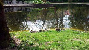 Große Entenfamilie am Pleicher See in Würzburg