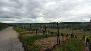 Weinberge unterhalb des Naturschutzgebiets Höhfeldplatte bei Thüngersheim