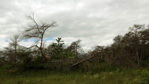 Abgestorbene Bäume im Naturschutzgebiet Höhfeldplatte bei Thüngersheim