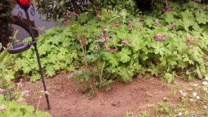 Tränendes Herz (Lamprocapnos spectabilis) und Balkan-Storchschnabel (Geranium macrorrhizum)