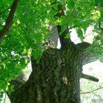 Der nicht zu übersehende Baum am Alten Berg in Goßmannsdorf am Main