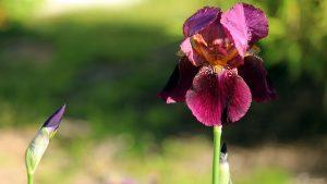 Blüten der Schwertlilie (Iris germanica)