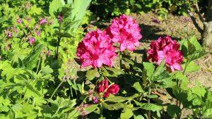 Storchschnabel und Rhododendren