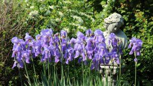 Blaublühende Schwertlilien (Iris germanica)