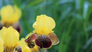Gelbblühende Schwertlilien (Iris germanica)