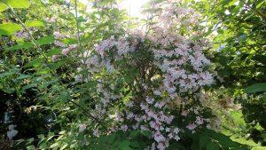 Kolkwitzie oder der Perlmuttstrauch (Kolkwitzia amabilis)