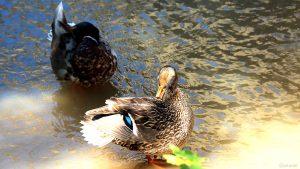 Enten putzen sich am Breitbach in Marktbreit