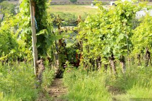 Ausgeizen der Weinreben am Würzburger Schalksberg