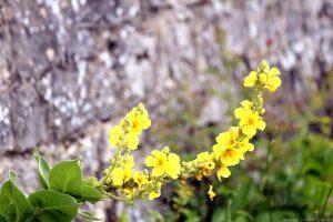 Blüten der Königskerze (Verbascum) am Würzburger Stein