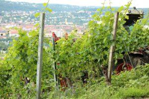 Ausgeizen der Weinreben am Würzburger Stein