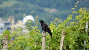 Saatkrähe (Corvus frugilegus) am Würzburger Stein