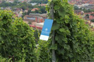 Weinstöcke am Würzburger Stein