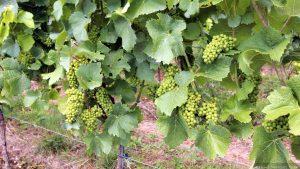Weintrauben der Weinlage Escherndorfer Lump am 29. Juli 2021