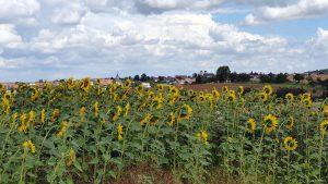 Sonnenblumenfeld am 5. August 2021 bei Waldbüttelbrunn