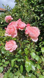 Offene und geschlossene Rosenblüten in unserem Garten am 16. August 2021