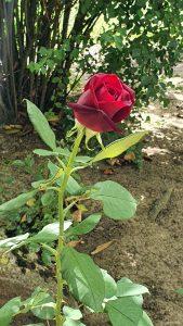 Dunkelrote Einzelblüte einer Rose in unserem Garten am 16. August 2021