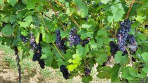 Weintrauben am Weingut Hirn in Untereisenheim im Landkreis Würzburg